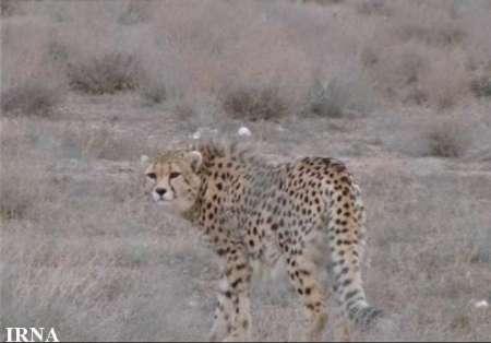 سازمان ملل۲۵۰ هزار دلار برای حفاظت از یوزپلنگ خراسان شمالی اختصاص داد