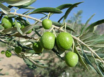 اسپانیا آماده سرمایه گذاری در تولید زیتون در ایلام است