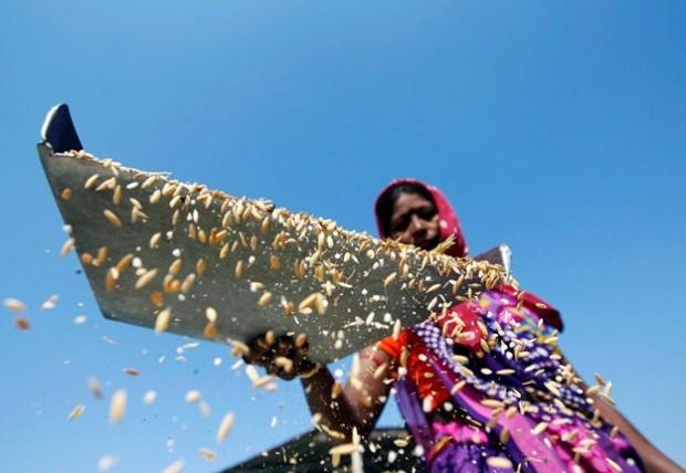 آماده کردن برنج در هند- عکس از رویترز