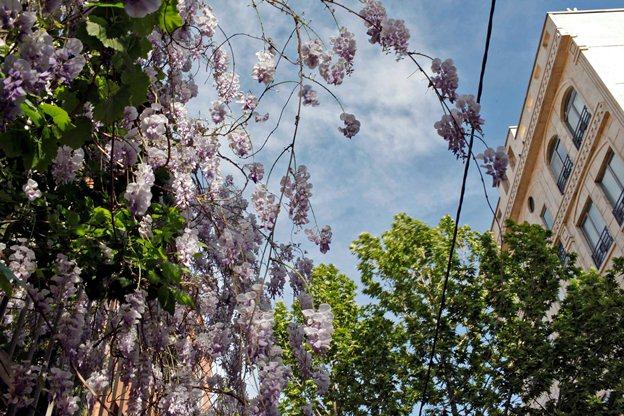 اقاقیا مهمان تهران در بهار
