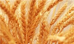 دولت گندم را از خارجیها ۱۵۰۰ تومان و از کشاورز ۱۱۵۵ تومان میخرد