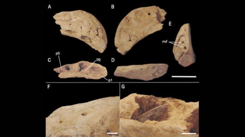 کشف یک گونه جدید دایناسور مصری شاخدار در مراکش